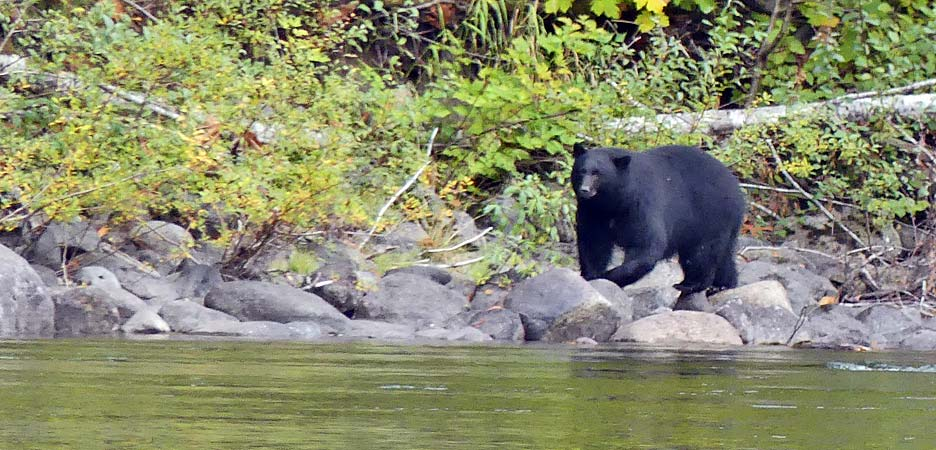 Black bear on Vancouver Island