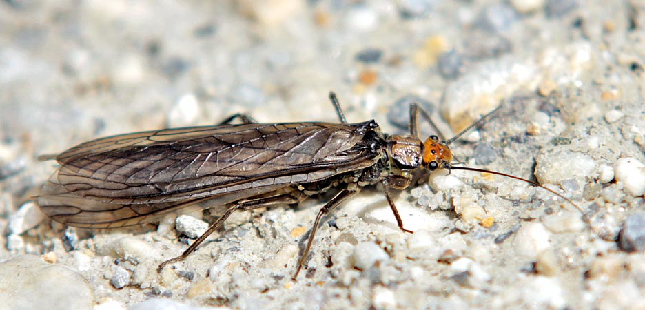 Stonefly in the Alps